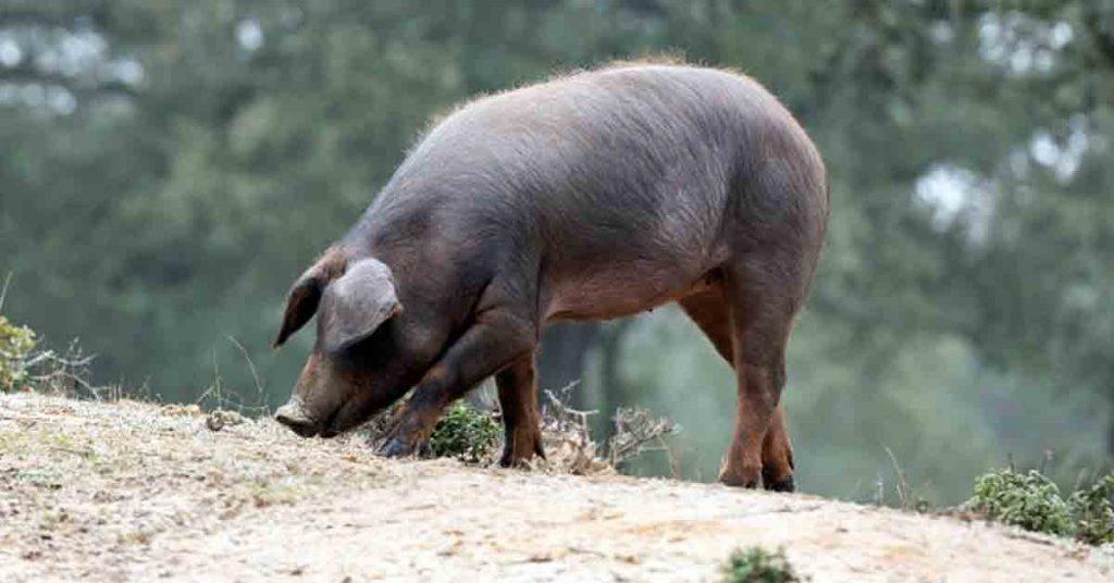 Clasificación de los cerdos ibéricos