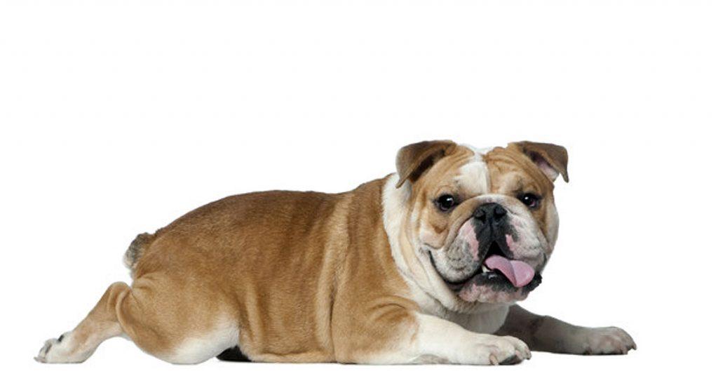 Consistencia de las heces de perro