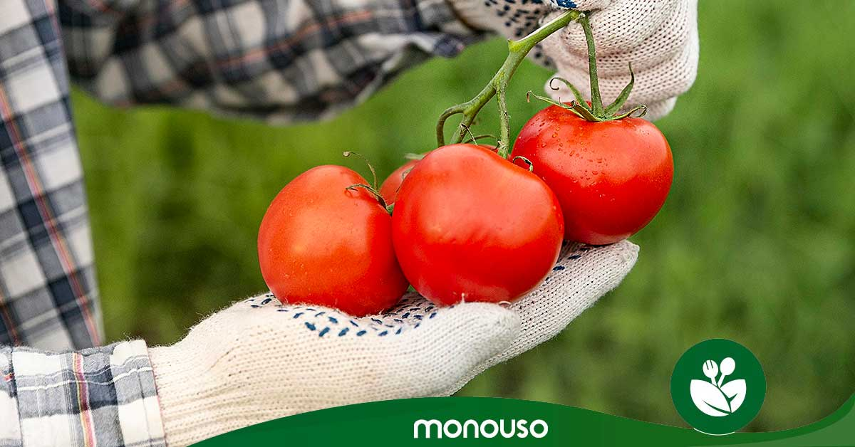 Guía para preparar tomate como un experto