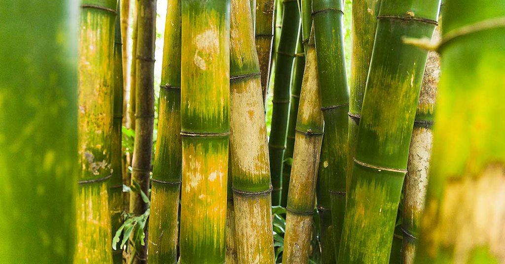 ¿Qué es el bambú?